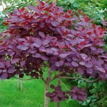 Скумпия кожевенная «Роял Пёрпл» (Cotinus coggygria 'Royal Purple')