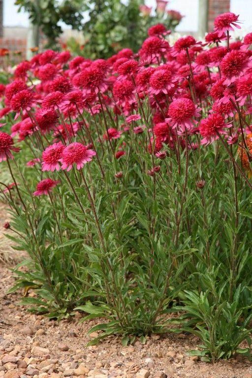 Echinacea-purpurea-Southern-Belle-3