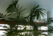 Асаи, или Эвтерпа овощная — капустная пальма