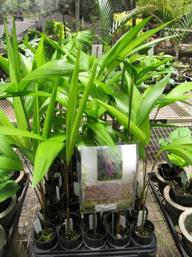 Асаи, или Эвтерпа овощная (Euterpe oleracea)
