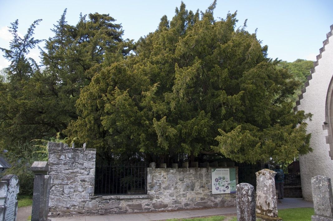 Fortingall-Yew-1