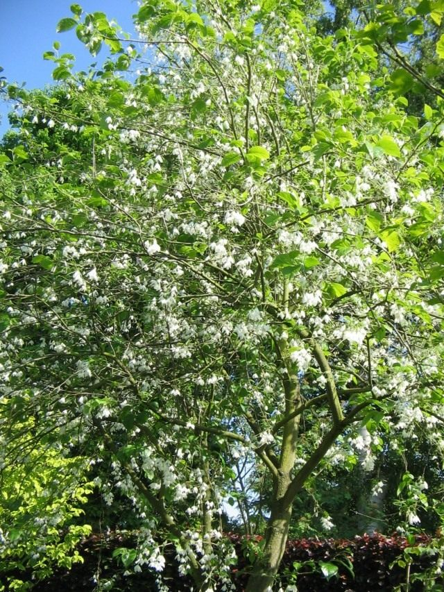 Галезия каролинская (Halesia carolina)