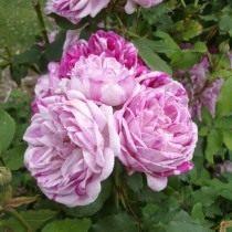 """Бурбонская роза сорт """"Honorine-de-Brabant"""""""