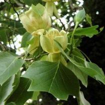 Лириодендрон тюльпановый, или тюльпанное дерево настоящее, или лиран (Liriodendron tulipifera)