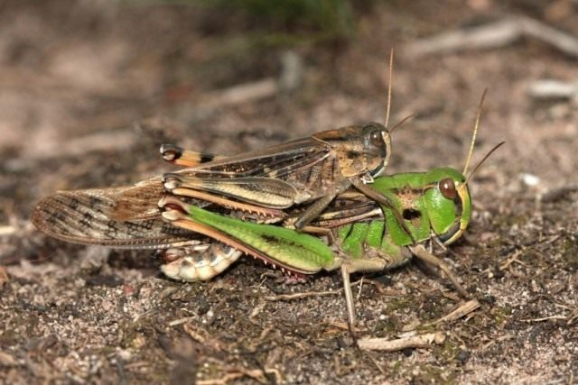 Перелётная саранча, или азиатская саранча (Locusta migratoria)