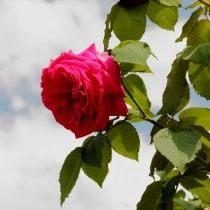 Бурбонская роза сорт 'Madame Isaac Pereire'