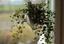 Мюленбекия спутанная, или Мюленбекия охватывающая (Muehlenbeckia complexa)