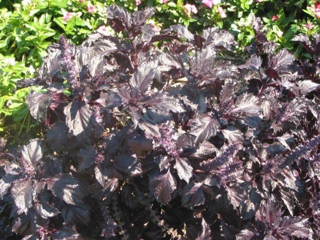 """Базилик душистый """"Purple Ruffles"""" (Ocimum basilicum 'Purple Ruffles')"""