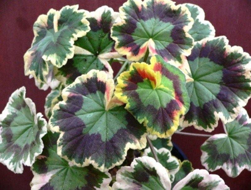 Pelargonium-zonale-Mrs-Pollock-2