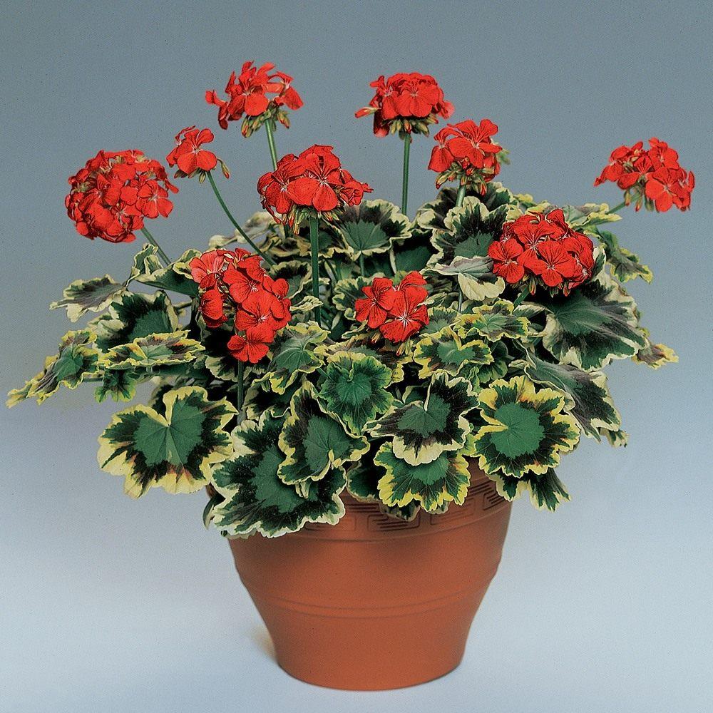 Pelargonium-zonale-Mrs-Pollock-3