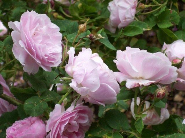 Бурбонская роза сорт 'Queen of Bourbons'