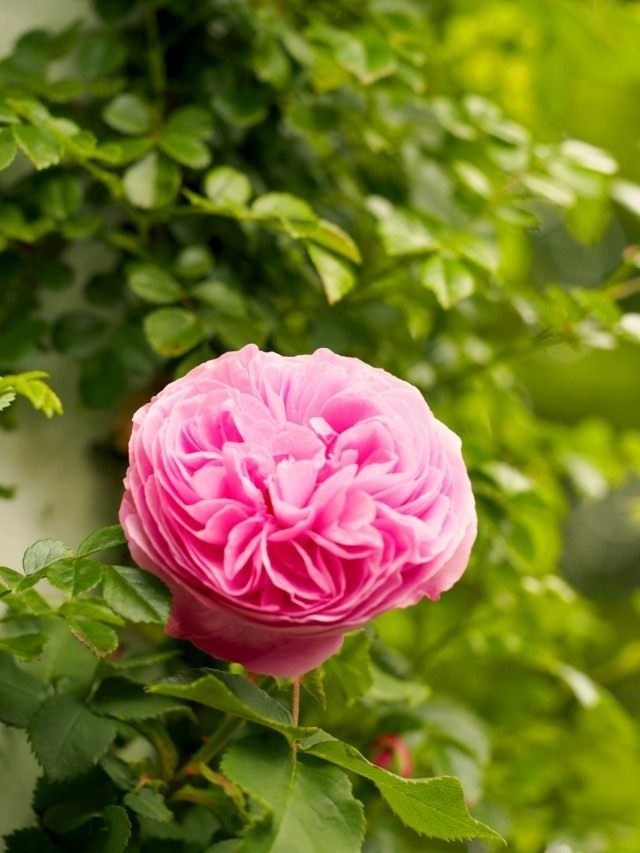 """Роза """"Королева Виктория"""" (Rosa 'Reine Victoria')"""