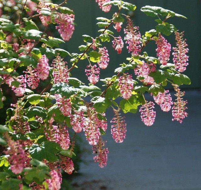 Смородина кроваво-красная (Ribes sanguineum)