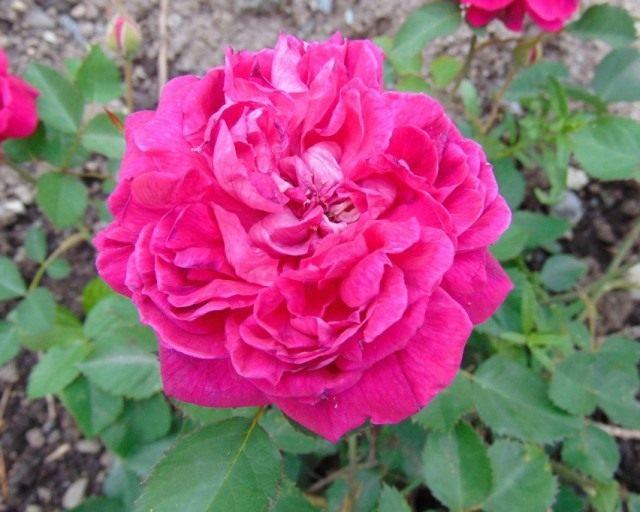Бурбонская роза сорт 'Eugene de Beauharnais'
