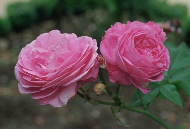 Роза «Луис Одье» (Rosa 'Louise Odier')