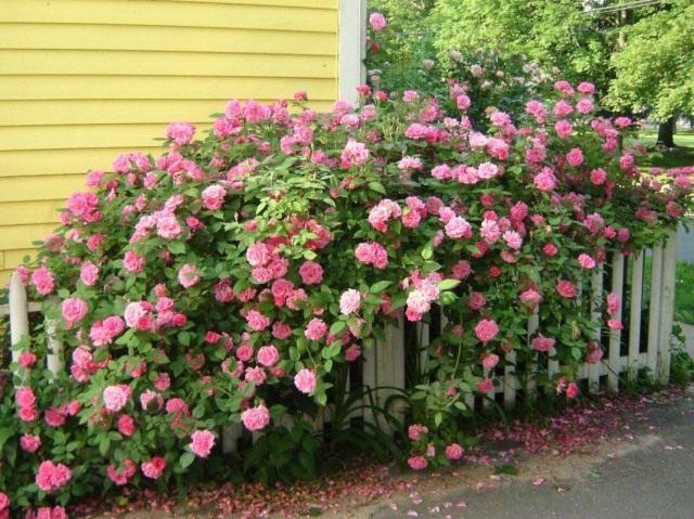 Куст бурбонской розы сорта 'Louise Odier'