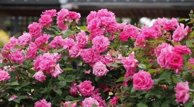 Куст бурбонской розы сорта 'Zepherine Drouhin'
