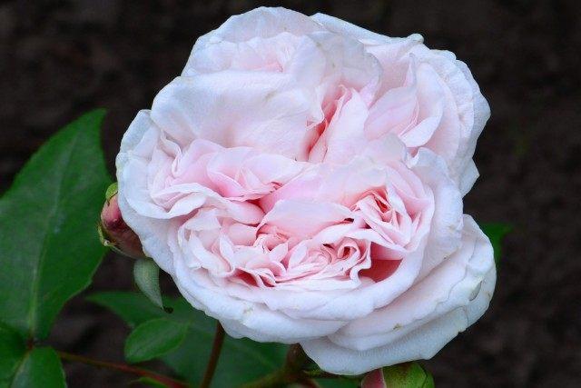 Бурбонская роза сорт 'Souvenir de la Malmaison'