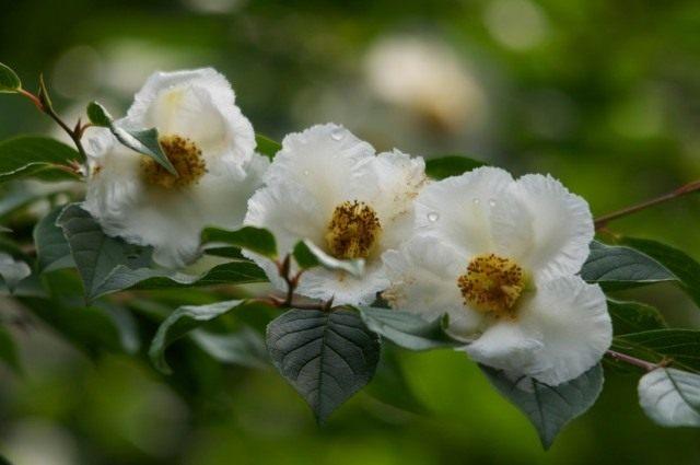 Стюартия псевдокамеллия (Stewartia pseudocamellia)