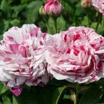 Бурбонская роза сорт 'Variegata di Bologna'