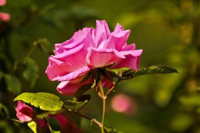Бурбонская роза сорт 'Zepherine Drouhin'