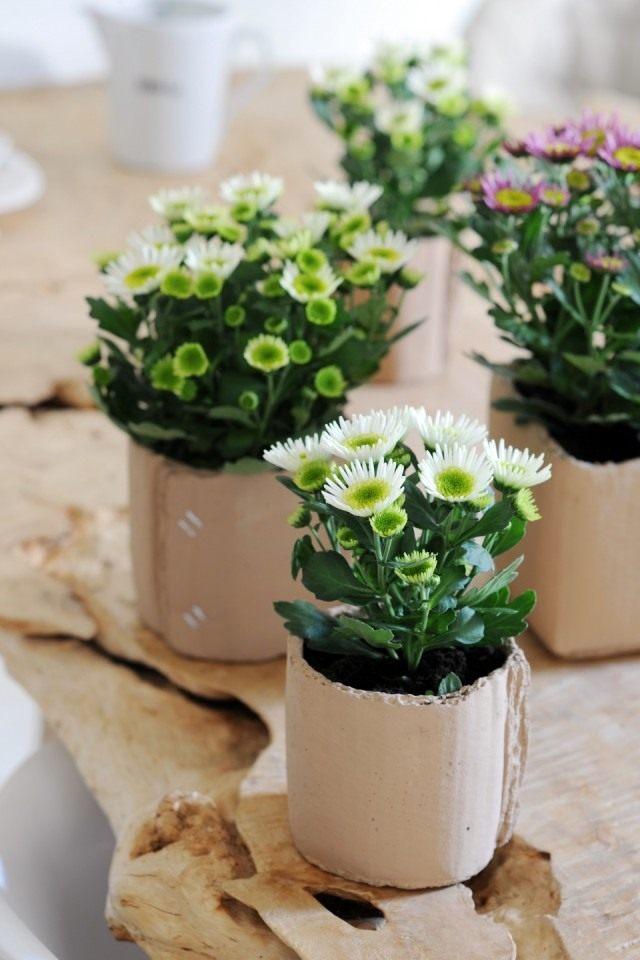Комнатные хризантемы