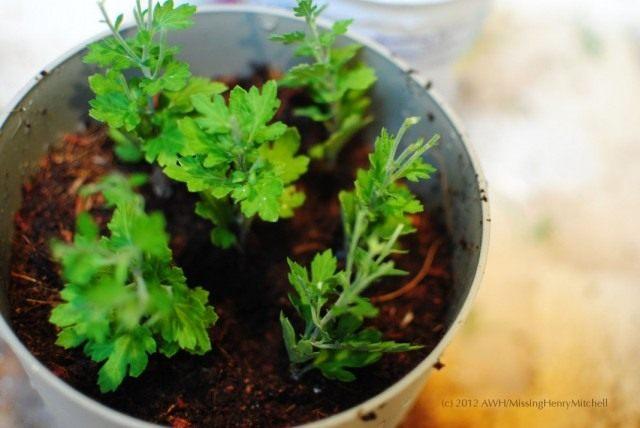 Разделенный куст комнатной хризантемы