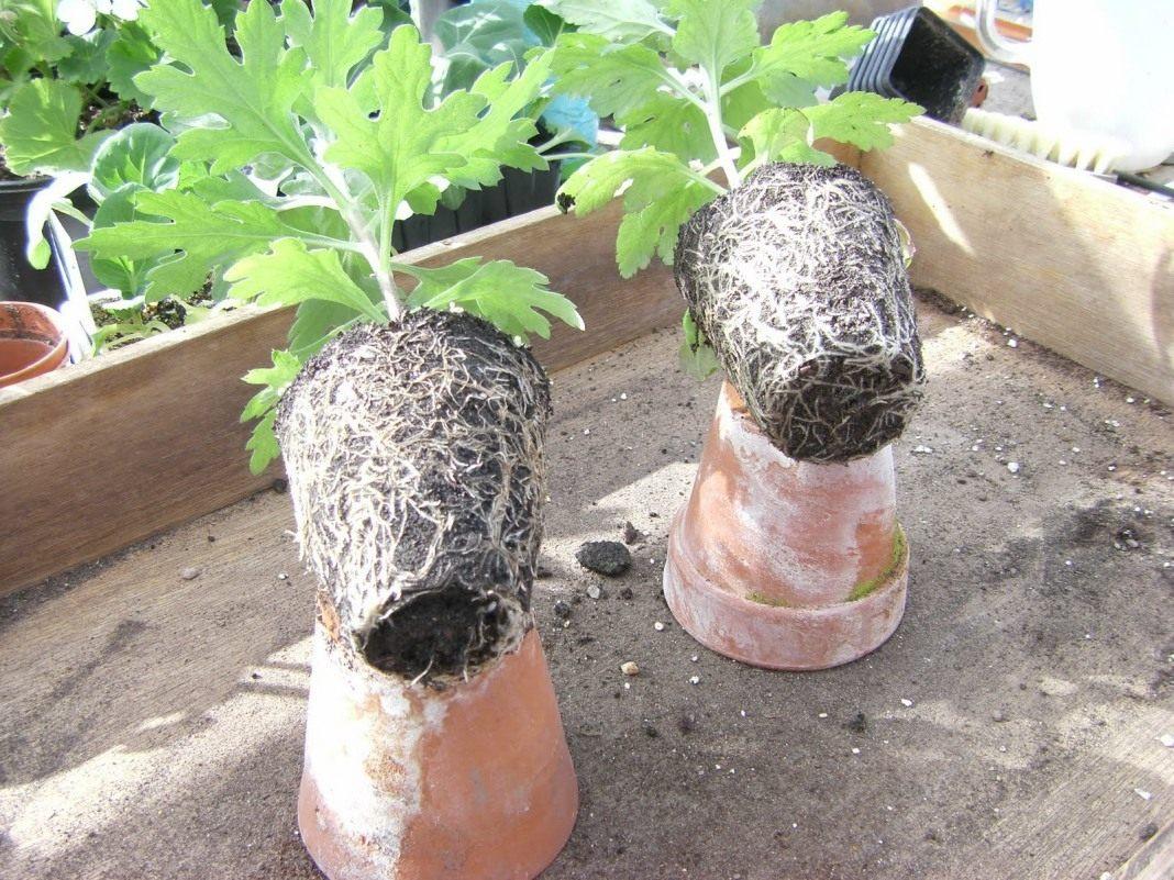 Обрезка хризантемы в горшке в домашних условиях 962