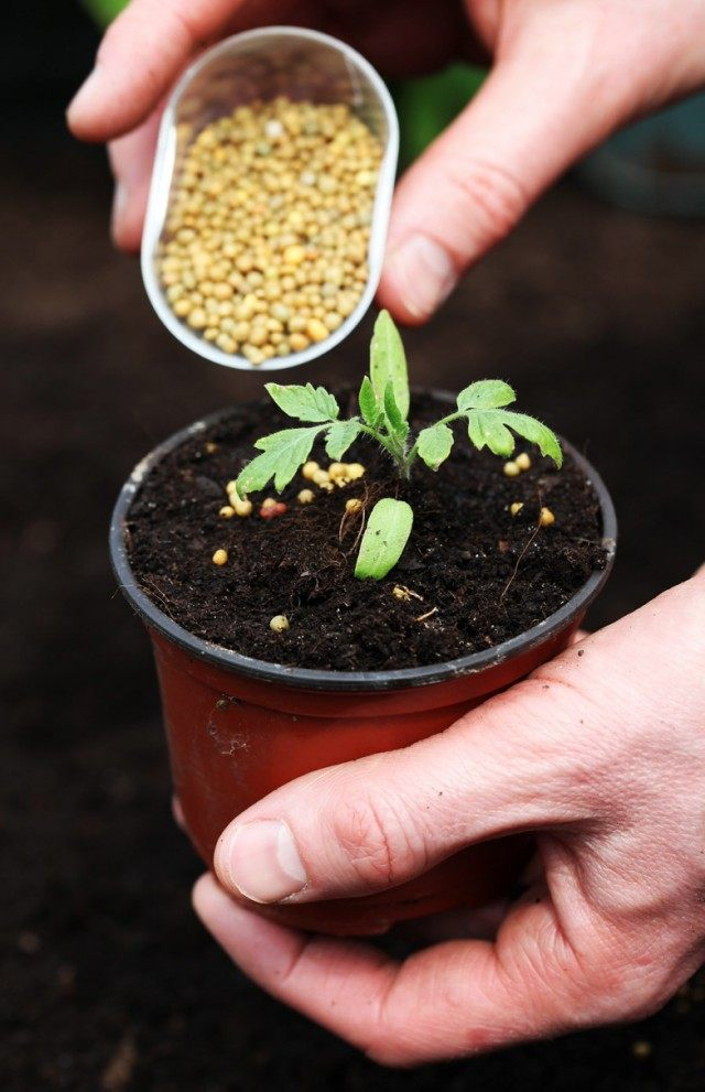 Внесение долгодействующего удобрения под рассаду