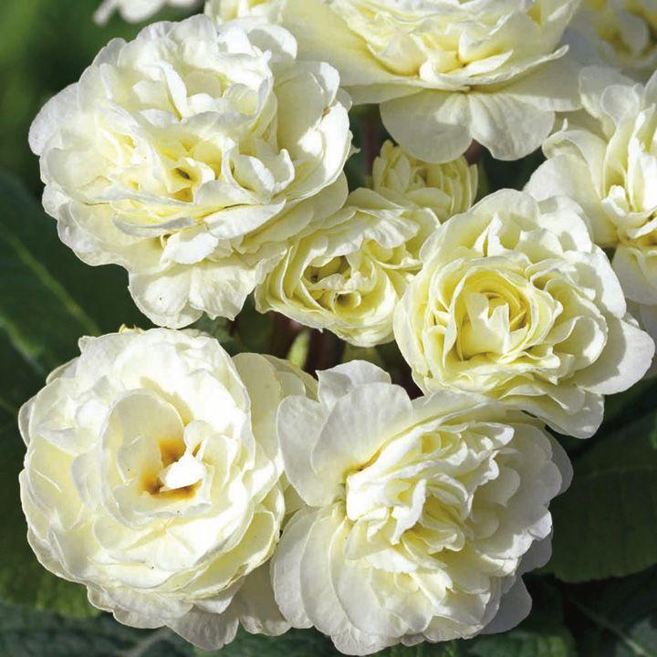 primula-belarina-cream-1