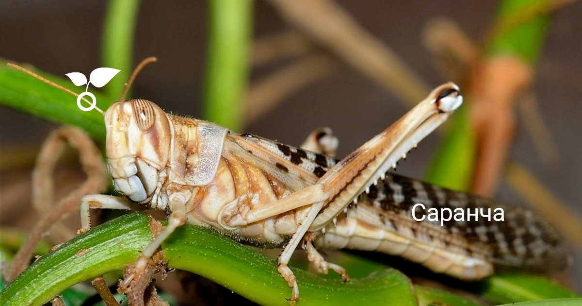 Саранча летает или прыгает. Саранча насекомое. Образ жизни и среда обитания саранчи