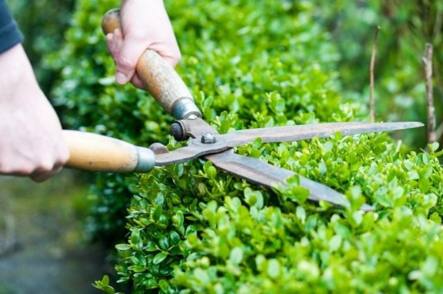 Стрижка зелёной изгороди