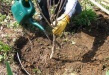 Плодовые саженцы — подбор и посадка