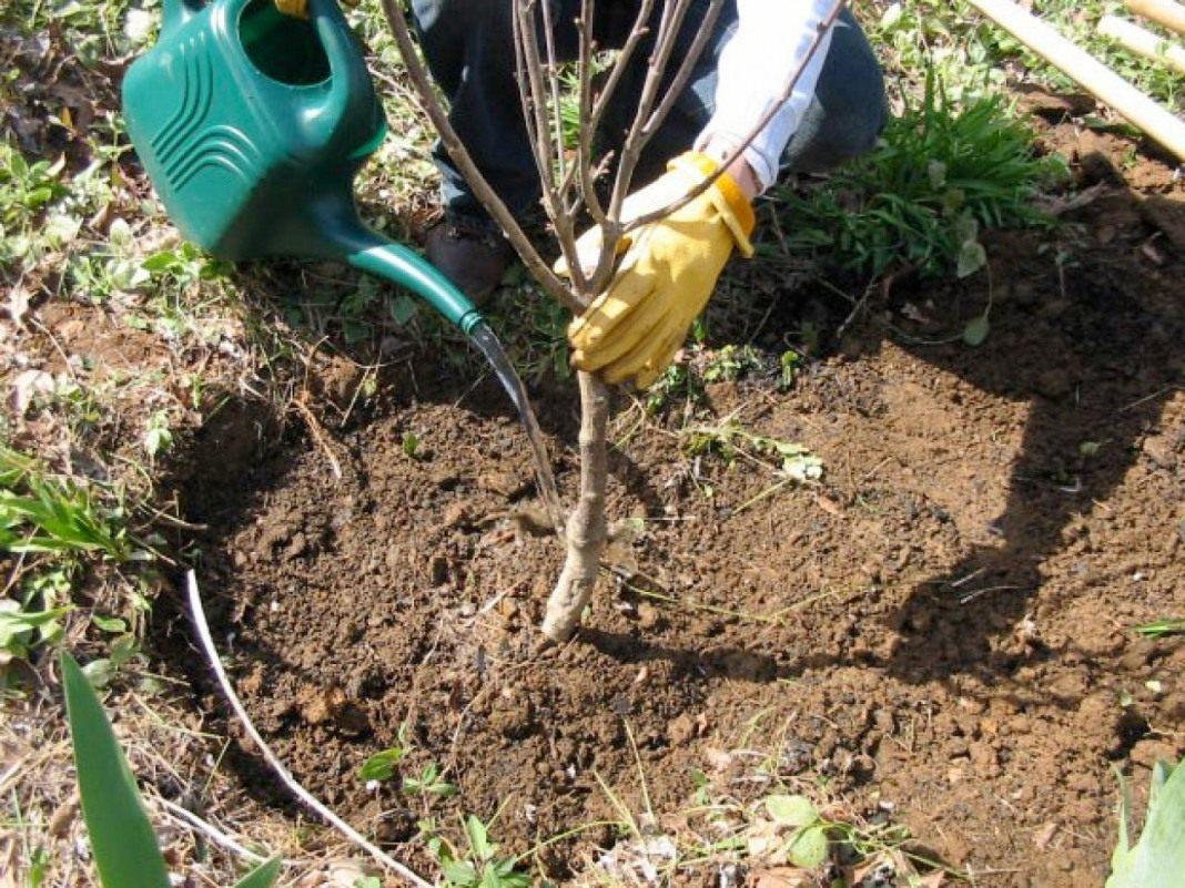 Сажать плодовые деревья весной 70