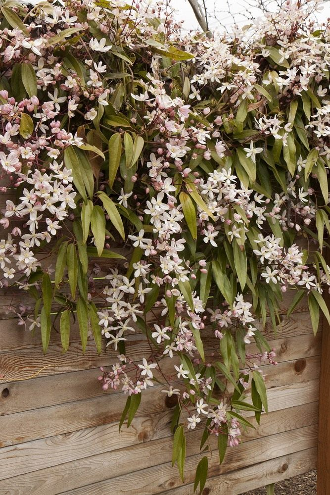 Clematis-armandii-Apple-Blossom-3