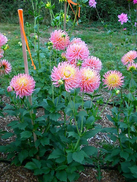 Dahlia-Fringed-Star-3