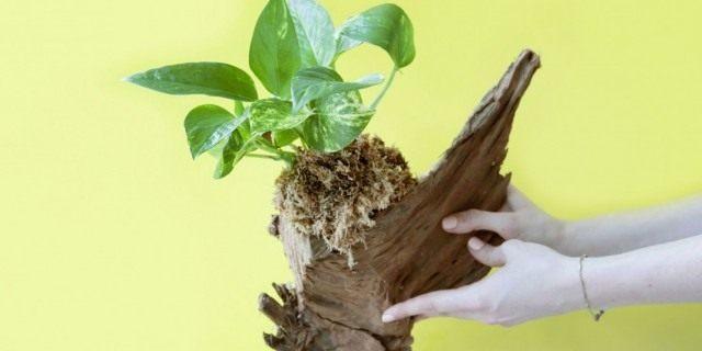 Коряга для выращивания комнатного растения