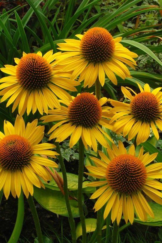 Echinacea-Mai-Sunshine2