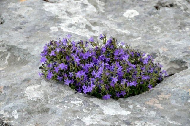 Эдрайантус ползучий (Edraianthus serpyllifolius)