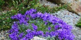 Эдрайантус карликовый (Edraianthus pumilio)
