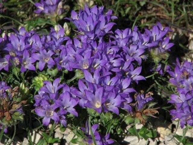 Эдрайантус злаколистный (Edraianthus graminifolius)