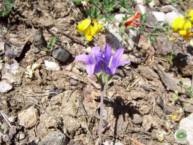 Эдрайантус парнасский (Edraianthus parnassicus)
