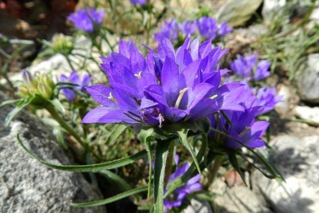 Эдрайантус сербский (Edraianthus serbicus)