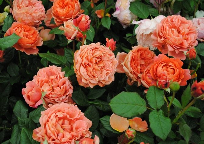 English-Rose-Summer-Song-2