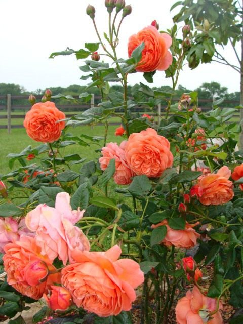 English-Rose-Summer-Song-3