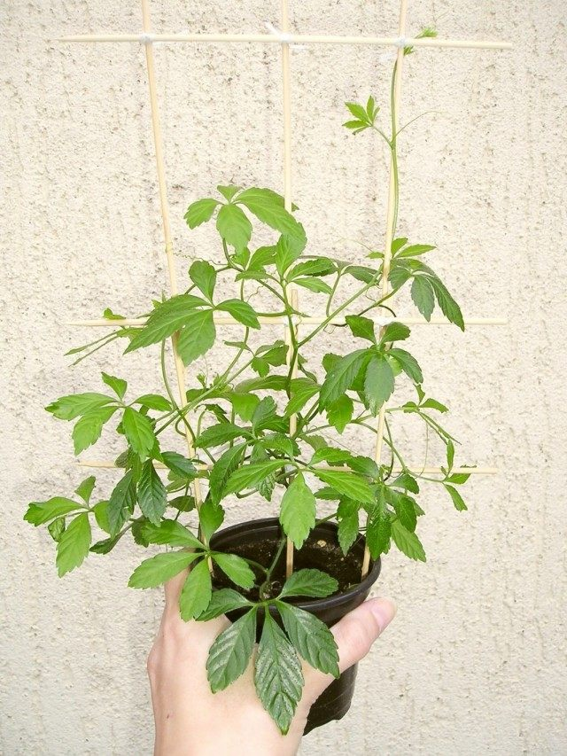 Гиностемма пятилистная (Gynostemma pentaphyllum)