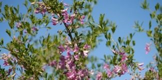 Чингиль (чемыш, шенгил) серебристый (Halimodendron halodendron)