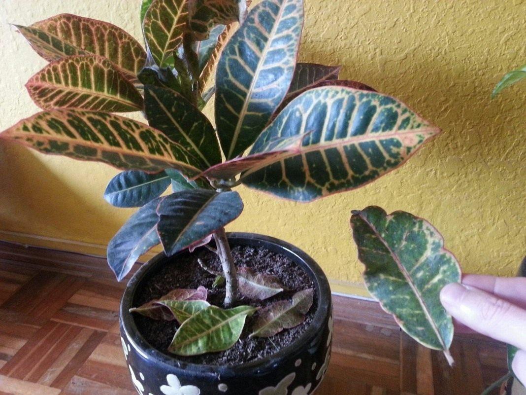Почему опадают у комнатного растения листья зимой