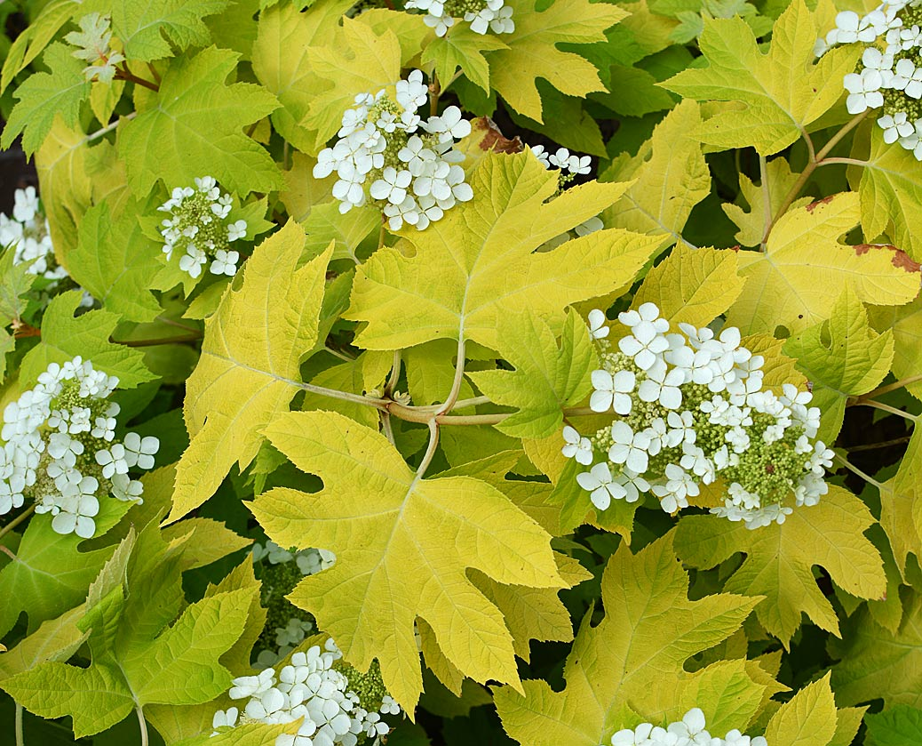 Hydrangea-quercifolia-Little-Honey-1