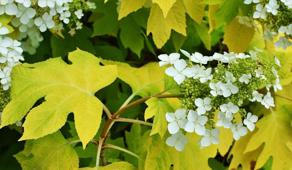 Hydrangea-quercifolia-Little-Honey-2